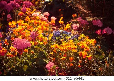 beautiful orange pink flowers in natural background of grass and plants. Summer flower background