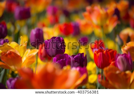 Beautiful orange, pink, yellow and red colored tulips in soft focus - vibrant colors - sunny bright scene - stock photo