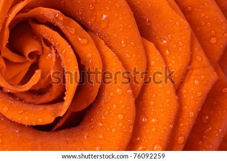 beautiful orange rose close up - stock photo