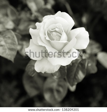 Beautiful orange rose, close up, in a garden   - stock photo