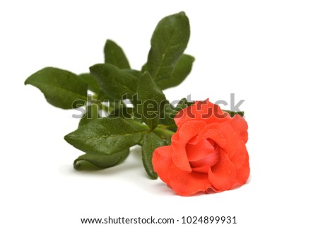 Beautiful orange rose flower with drops isolated on white background. Flat lay, top view.