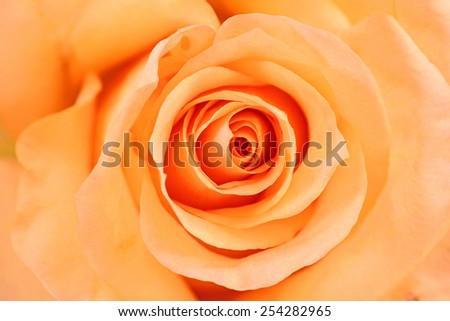Beautiful Orange Rose petals close up. - stock photo