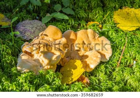 Beautiful orange terracotta hedgehog mushrooms growing in green moss - stock photo