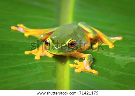 Beautiful Orange thighed tree frog, Litoria zanthomera, sitting on a leaf looking at camera - stock photo