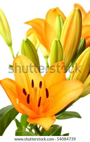 Beautiful orange Tiger Lily flowers on white - stock photo