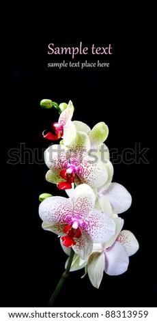 Beautiful Orchid closeup - stock photo