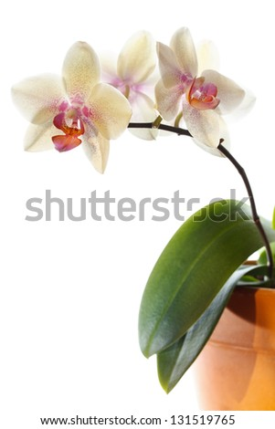 Beautiful orchid in a pot over white background with copy space