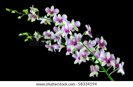 Beautiful Orchid Isolated on Black - stock photo