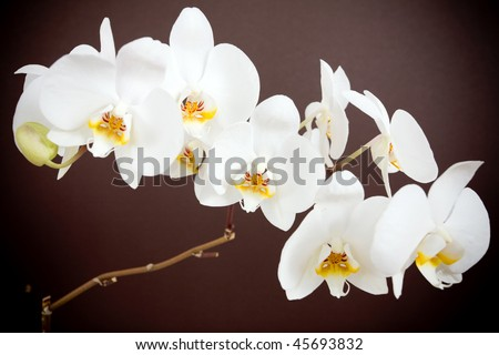Beautiful orchid on brown background - stock photo