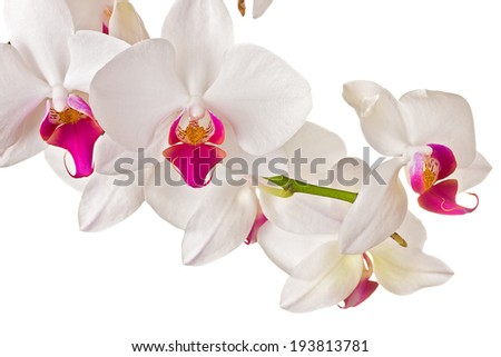 Beautiful orchid on white background  - stock photo