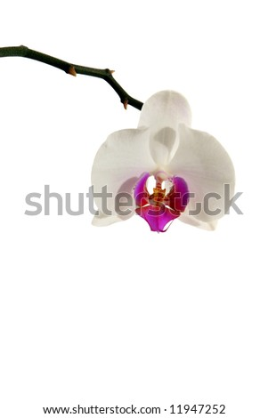 Beautiful Orchid Over White A beautiful white orchid isolated over white background.