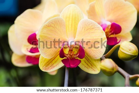 Beautiful orchid - phalaenopsis, against natural green background in greenhouse