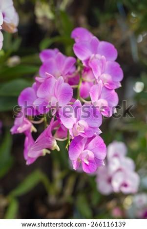 beautiful orchid Purple - stock photo