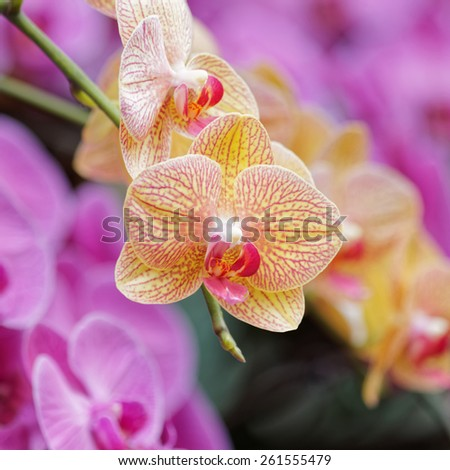 Beautiful orchids - phalaenopsis, against natural green background in greenhouse - stock photo