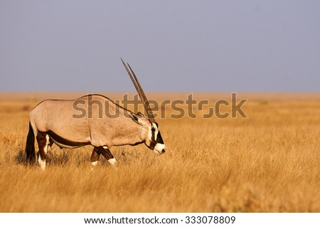 Beautiful oryx walking in the bush in a natural park in the late afternoon light - stock photo