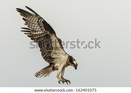 Beautiful osprey hunting in flight isolated against a gray sky - stock photo