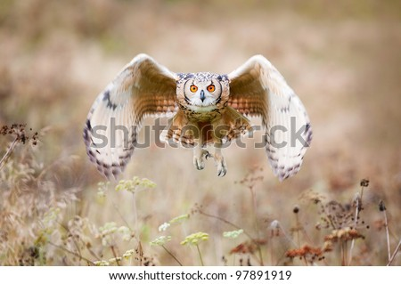 Beautiful owl photographed while flying, surrounded by warm autumn scenery. - stock photo