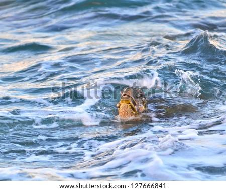 Beautiful Pacific Green Sea Turtles (Chelonia Mydas) showing signs of herpes virus tumors. - stock photo