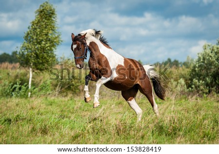 Beautiful painted horse running on the meadow - stock photo