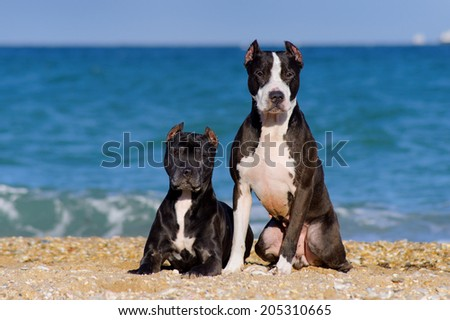 Beautiful pair of pit bull breed dogs sitting together on the beach - stock photo