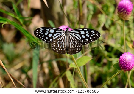 beautiful Pale Blue Tiger butterfly (Tirumala limniace) on flower near the road track - stock photo