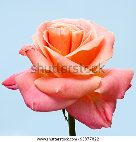 Beautiful pale pink rose on a blue background. - stock photo