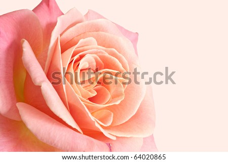 Beautiful pale pink rose on a pink background. - stock photo