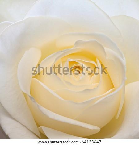 Beautiful pale yellow-white rose. - stock photo