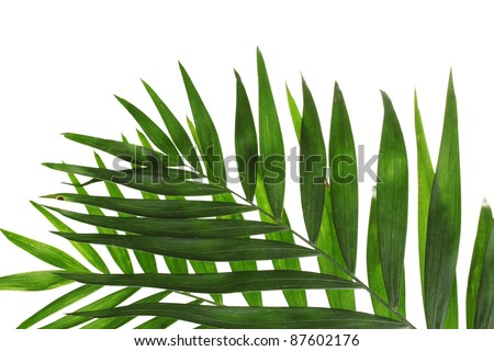 Beautiful palm leaves isolated on white - stock photo