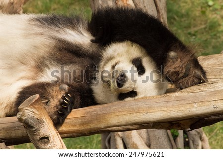 beautiful panda relaxing on wooden bench - stock photo