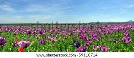 Beautiful panorama of poppy field during the summer day. - stock photo