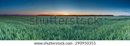 Beautiful panoramic landscape of green rye field at sunset. Agricultural countryside.   - stock photo