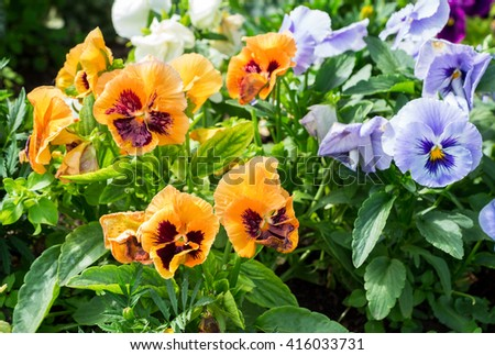 Beautiful Pansies or Violas growing on the flowerbed in garden. Garden decoration - stock photo