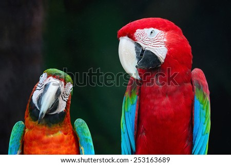 Beautiful parrot bird, Greenwinged Macaw and Harlequin Macaw in portrait profile