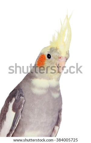 Beautiful parrot nymph gray with yellow crest isolated on a white background