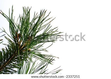 Beautiful part of Pine. - stock photo