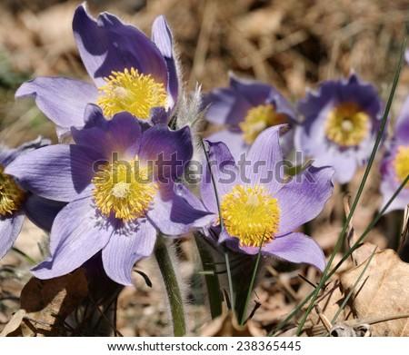 beautiful pasqueflowers, Pulsatilla patens - stock photo