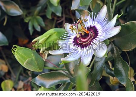 Beautiful passion flower (Passiflora) on the vine - stock photo