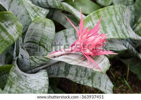 Beautiful pastel pink bromeliad with green background - stock photo