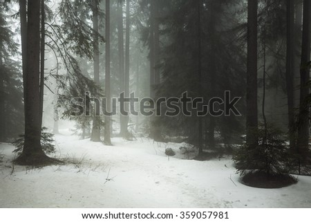 Beautiful path through pine trees forest in a misty winter day - stock photo