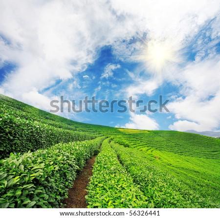 Beautiful pattern of bright, green tea garden on the hill - stock photo