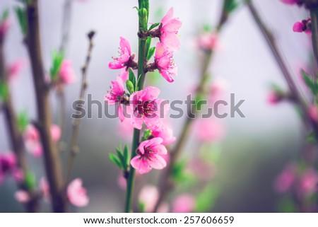 Beautiful peach blossom. Soft focus. Blue toned - stock photo