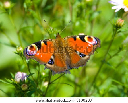 Beautiful peacock butterfly on green grass background - stock photo