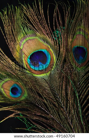 Beautiful peacock eye feathers on black background - stock photo