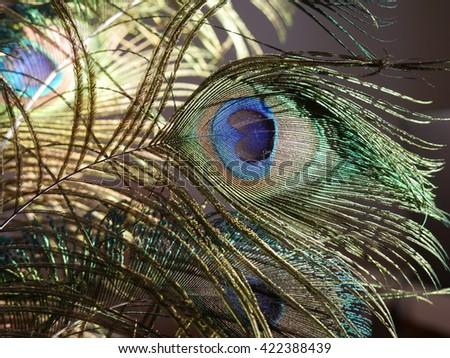 Beautiful peacock feather. - stock photo