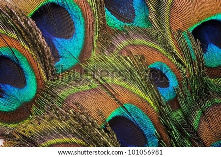 Beautiful peacock feather background, close up - stock photo