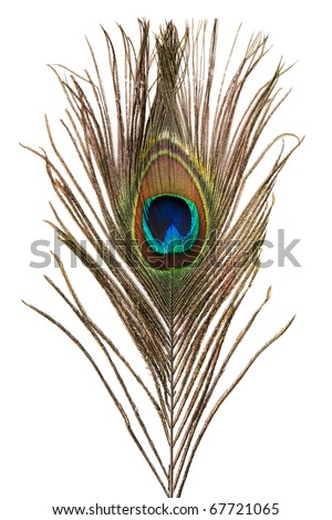 Beautiful peacock feather isolated on white background - stock photo