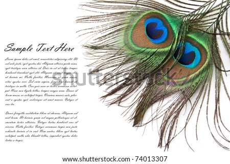 Beautiful peacock feather with copy-space for text - stock photo