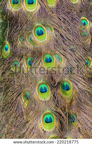 beautiful peacock feathers, belonging to male bird tail - stock photo