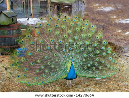 beautiful peacock with feathers opened